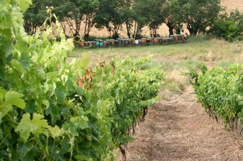 Alveari nelle vigne di Fattoria La Maliosa